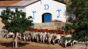 rebanho fazenda carnauba
