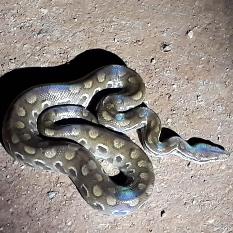Cobra da Serra da Canastra